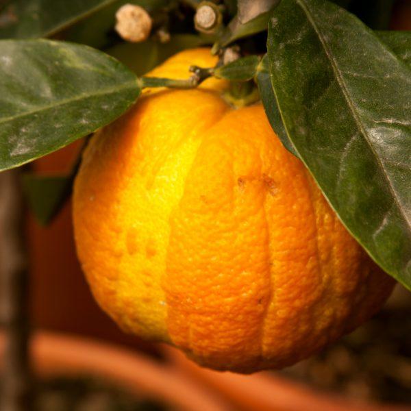 """Citrus aurantium """"Virgolaro"""" o """"Virgato"""""""
