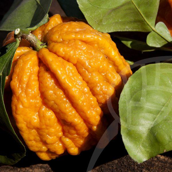 arancio amaro canaliculata