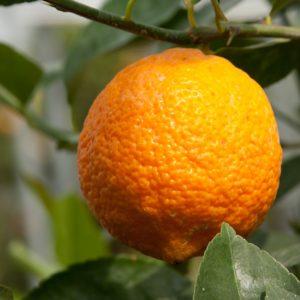 clementina x limone