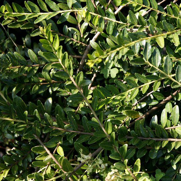 Caprifoliacea