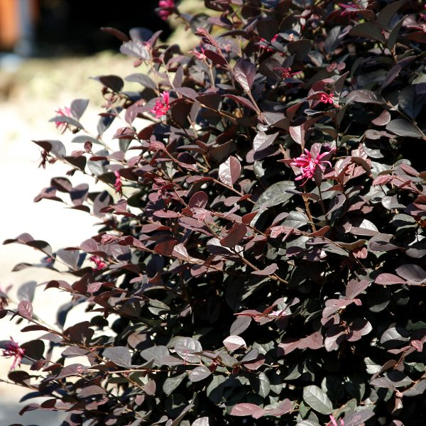 Loropetalum in vaso