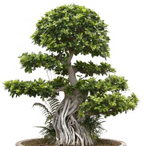 Macrobonsai di Ficus