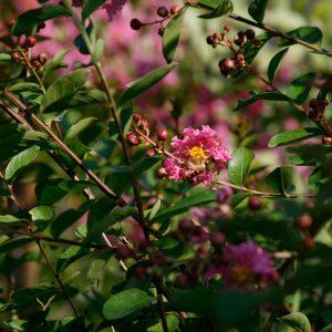 Albero nudo a fiore rosa