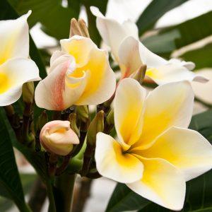 frangipane a fiore bianco