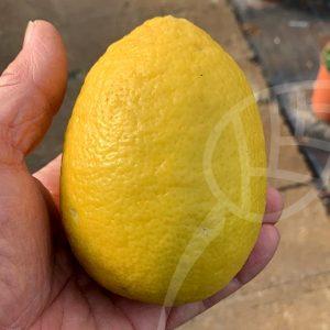 "Limone ""Borneo"