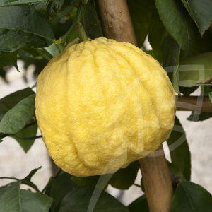 Limone cedrato Maxima