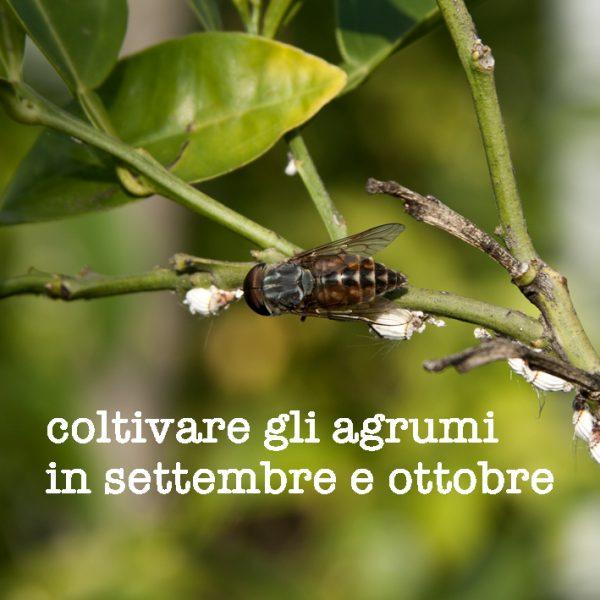 Come coltivare gli agrumi in settembre e ottobre
